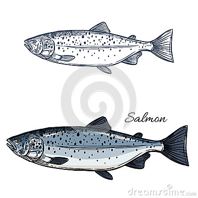 Free Salmon Fish Vector Isolated Sketch Icon Stock Photo - 92007720