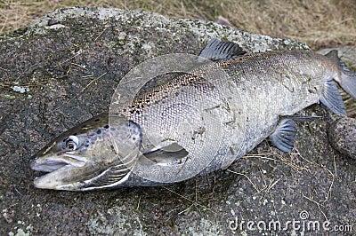 Salmon fishing in Sweden