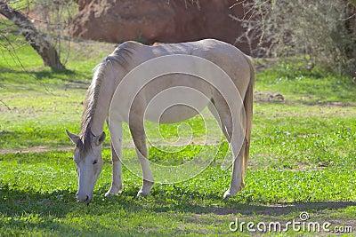 Salt River Wild Horse Grazing