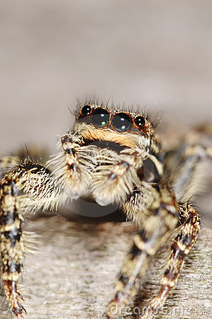 Salticid pająk