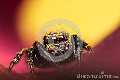 Salticidae jumping spider