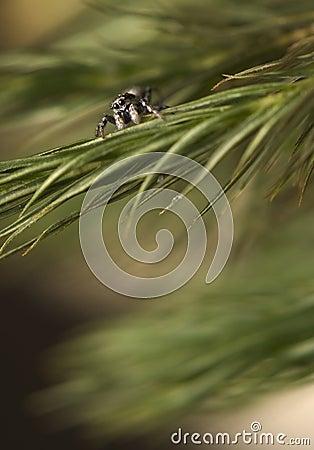Salticus - araña de salto en una ramificación del pino