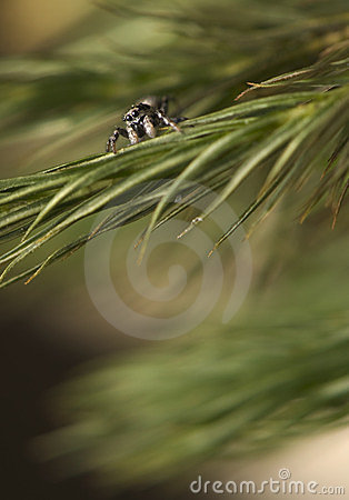 Salticus - jumping spider on a pine branch