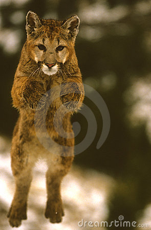 Salto del león de montaña