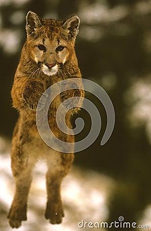 Salto do leão de montanha