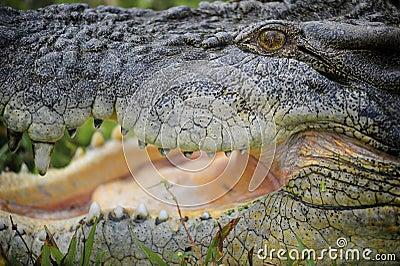Saltwater Crocodile Australia I