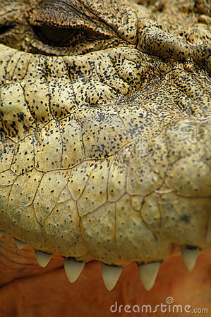 Saltwater Crocodile Closeup