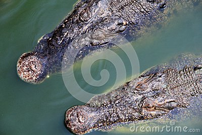 Saltwater Crocodile floating around