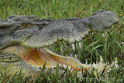Saltwater Crocodile IV
