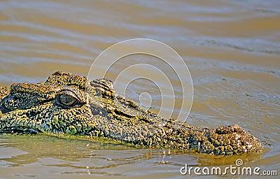 Saltwater crocodile Outback Australia