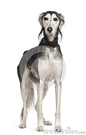 Free Saluki Dog, 12 Years Old, Standing Royalty Free Stock Image - 15360096