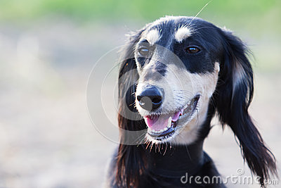 Saluki Persian Greyhound