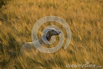 Saluki at sunset in a wheat field.