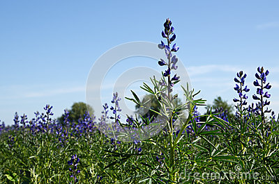In the salvia field