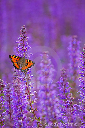 Free Salvia With Butterfly Royalty Free Stock Photography - 19951877