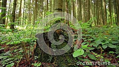 A samambaia verde que cresce fora do musgo cobriu o coto de árvore vídeos de arquivo