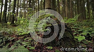 A samambaia verde que cresce fora do musgo cobriu o coto de árvore filme