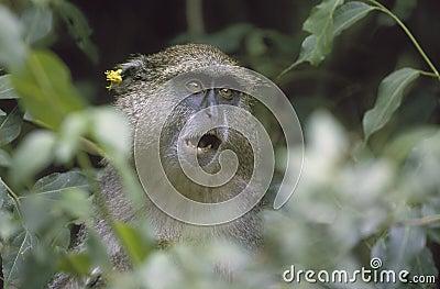 Samango Monkey, South Africa