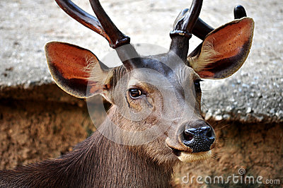 Sambar Deer Royalty Free Stock Photography - Image: 25880297