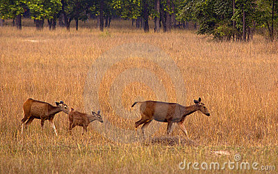 Sambar deer family