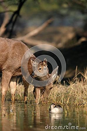 Sambar deer fawn in water