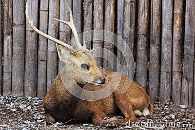 Sambar deer young