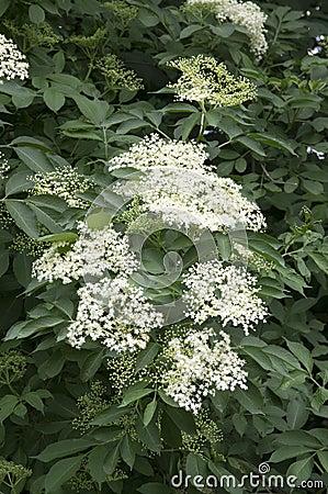 Free Sambucus Nigra In Bloom, Lots Of Small White Flower Stock Photos - 109127473