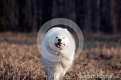Samoed hund s