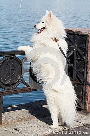 Samoed s dog
