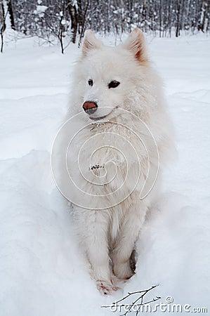 Samoed s dog on snow