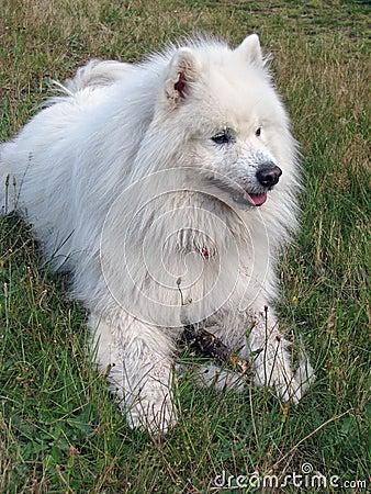 Samoyed зеленого цвета травы собаки