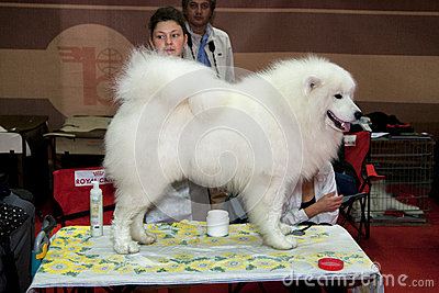 Samoyed Editorial Stock Photo