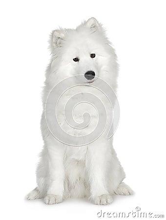 Samoyed (6 mois)