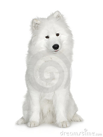 Free Samoyed (6 Months) Stock Photo - 3753200