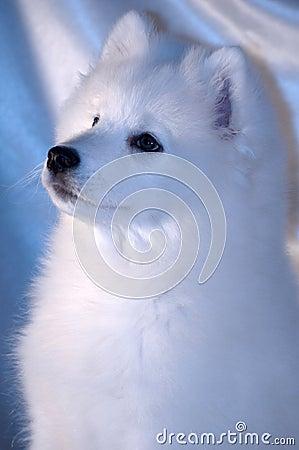 Samoyed собаки