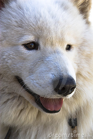 Samoyed closeup