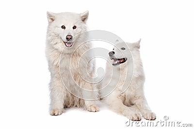 Samoyed (dog)