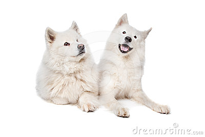 Samoyed (dog)