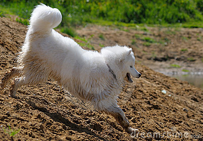 The samoyed dog