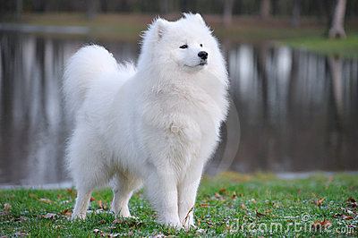 Samoyed dog
