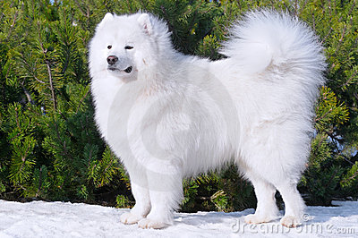 Samoyed dog - Champion of Russia