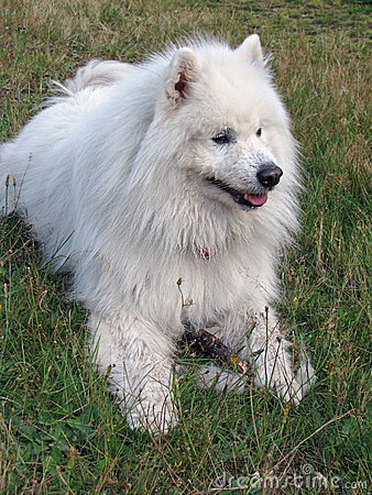 Samoyed dog on green grass
