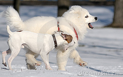 Samoyed dog and Jack Russel terrier
