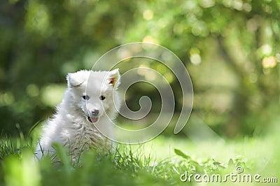 Samoyed dog puppy
