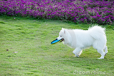 Samoyed dog running