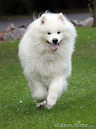Free Samoyed Dog Running Royalty Free Stock Photos - 8428228