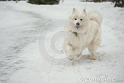 Samoyed dog on the snow.