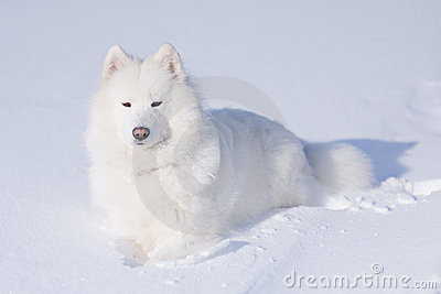 Samoyed dog on the snow