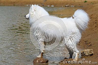 Samoyed hond