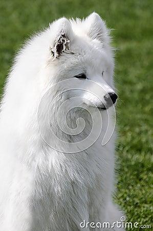 Samoyed-Hund